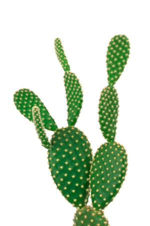 Green bunny ear cactus on clear white background Zdjęcie Seryjne