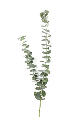 Eucalyptus Silver Dollar plant leaves on white paper background