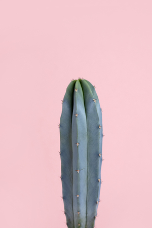 Turquoise blue green cactus on pastel pink background Zdjęcie Seryjne
