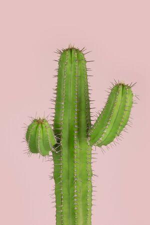 Minimal green cactus houseplant on pastel pink background photography