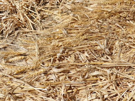 cloude: Wheat leftover after harvesting. Stock Photo