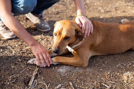 adopted dog lying in the ground with sad look while the owner caresses him