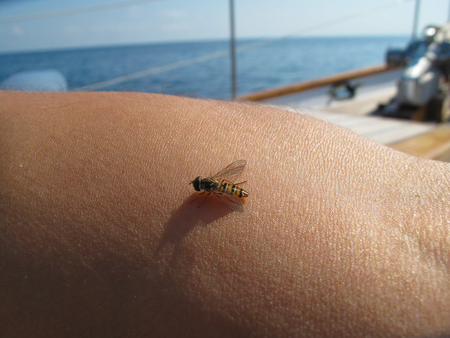 sucking: Close up a mosquito sucking human blood