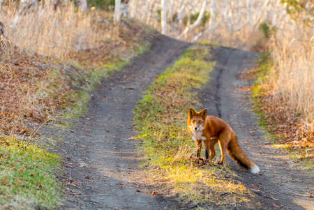 elusive: Animal the Fox in wood