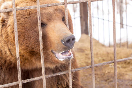 kamchatka: brown bear in a cage in Kamchatka