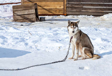 huskies: Huskies in nursery for dogs in the winter Stock Photo