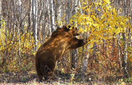 kamchatka: Kamchatka brown bear on a chain