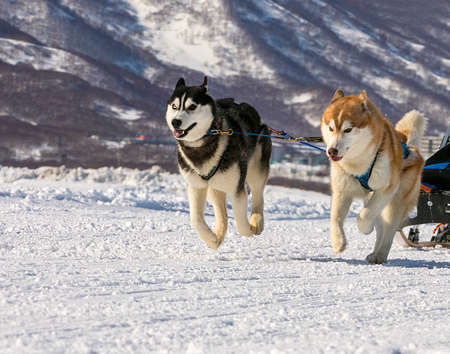 huskys: dogs team running in the snow on Kamchatka