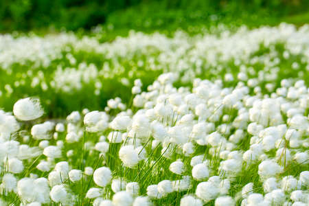 swampland: Arctic cotton grass (Eriophorum) field in Kamchatka. Horizontal shot