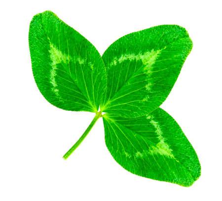 St. Patricks Day symbol. Lucky shamrock clover green heart-shaped leaves isolated on white background in 1:1 macro lens shot