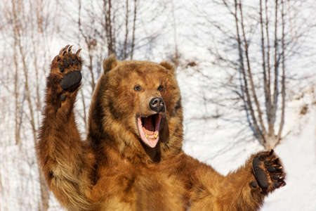 Taxidermy of a Kamchatka brown bear in forest on winter Stok Fotoğraf
