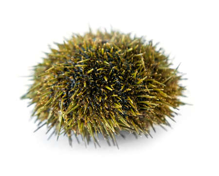 sea urchin from Pacific ocean, isolated on white background.