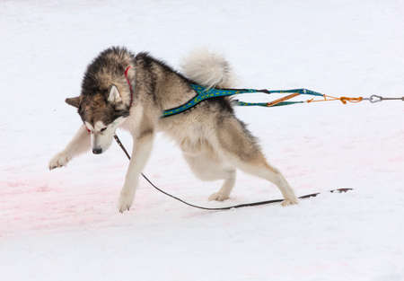 The dog in the winter competitions Weight pulling