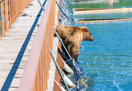 Funny wet brown bear on the wooden bridge
