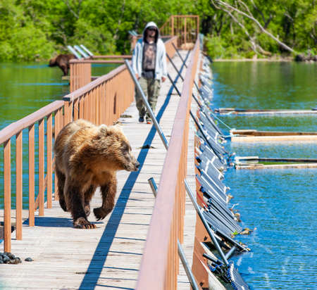 Funny wet brown bear on the wooden bridge with men Фото со стока