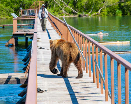 Funny wet brown bear on the wooden bridge with the men Фото со стока