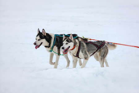 The Two husky dogs in snow on competition