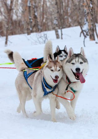 The Two husky (Malamutes) dogs in snow on competition