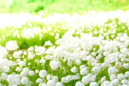 Arctic cotton grass (Eriophorum) field in Kamchatka. Horizontal shot
