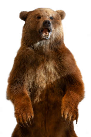 Taxidermy of a Kamchatka brown bear on white background Imagens