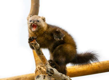 Le renard arctique Alopex Lagopus menace sur une branche d'arbre