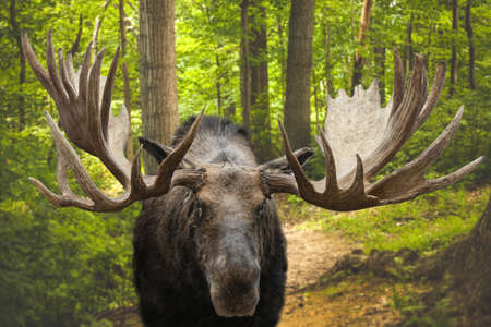 Closeup of a large male moose buck standing in a forest on Kamchatka