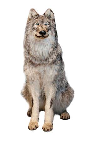 wild grey wolf isolated on white background Imagens