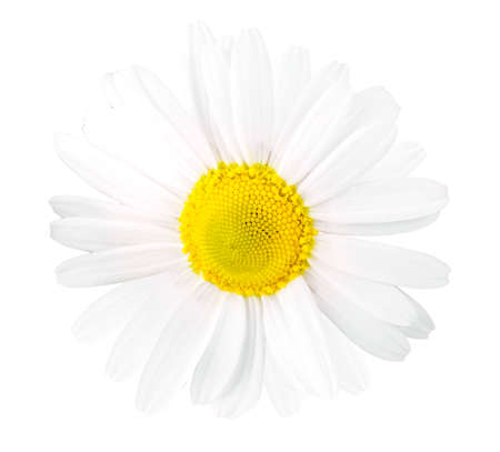 Beautiful and delicate chamomile flower on white background