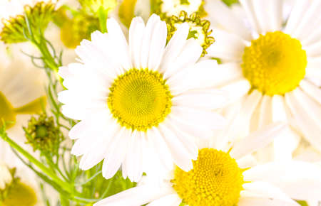 The Beautiful chamomile flowers on the white