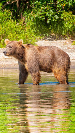 Kamchatka brown bear on the lake in summer Stock Photo