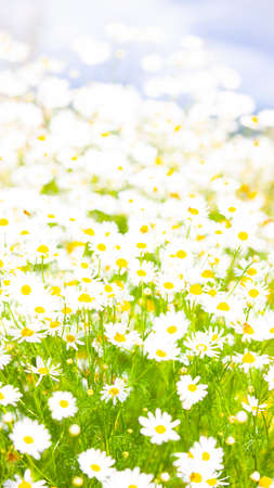The Beautiful chamomile flowers on the field.