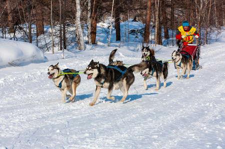 ESSO VILLAGE, KAMCHATKA, RUSSIA - MARCH 4, 2019: Running dog sledge team Kamchatka musher. Kamchatka Sled Dog Racing Beringia. Russian Far East, Kamchatka Region, Bystrinsky Region.