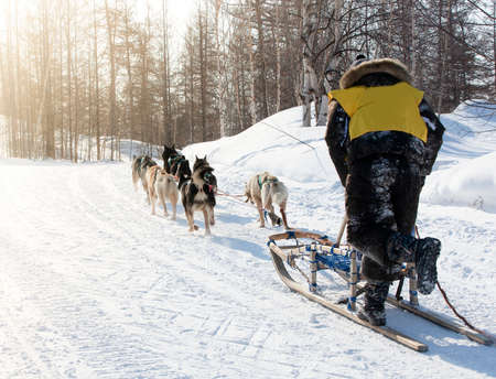 musher hiding behind sleigh at sled dog race on snow in winter 免版税图像