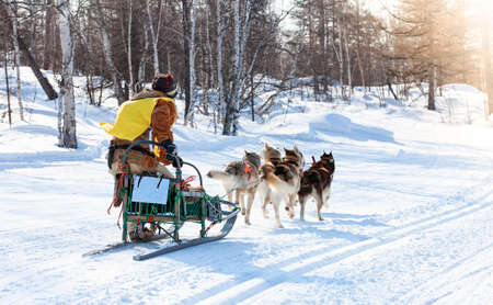musher hiding behind sleigh at sled dog race on snow in winter Stock Photo