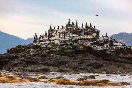 Colony of cormorants (Phalacrocorax carbo), Kamchatka Peninsula