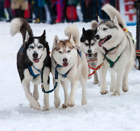 The portrait of a husky-drawn on the competition before the startr Stok Fotoğraf - 132447076