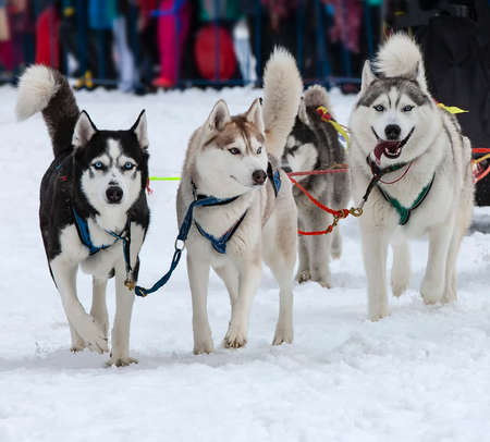 The portrait of a husky-drawn on the competition before the start Stok Fotoğraf - 132447078