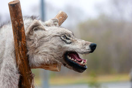 The stuffed Aggressive wolf head with open mouth Stok Fotoğraf - 131787996