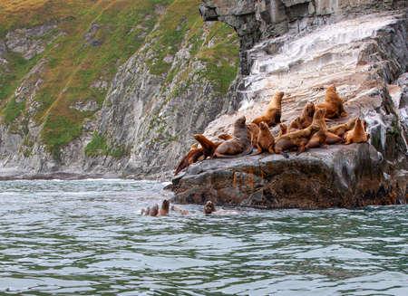 The Steller Sea Lion (Eumetopias jubatus) on rock  in Kamchatka peninsula Stok Fotoğraf
