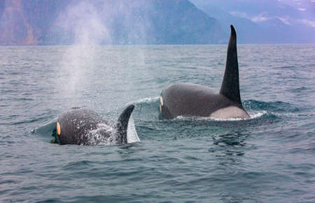 Selective focus. The pair of transient killer whales travel through the waters of Avacha Bay, Kamchatka Stok Fotoğraf