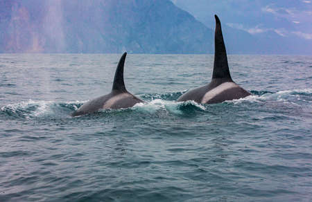 The pair of transient killer whales travel through the waters of Avacha Bay, Kamchatka Stok Fotoğraf