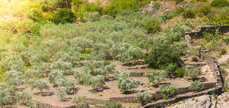 The olive fields in the mountains of Spain, view from above Stok Fotoğraf