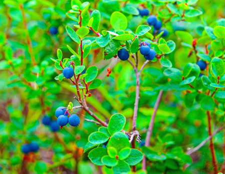 The Fresh Organic Blueberries on the bush. Selective focus