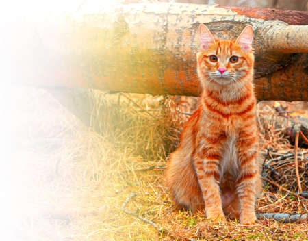 The Beautiful Red Cat bobtail hunts in the forest