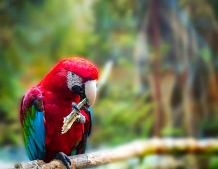 The Big red parrot Red-and-green Macaw, Ara chloroptera, sitting on the branch