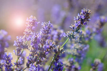 The Lavender bushes closeup on sunset. Sunset gleam over purple flowers of lavender.