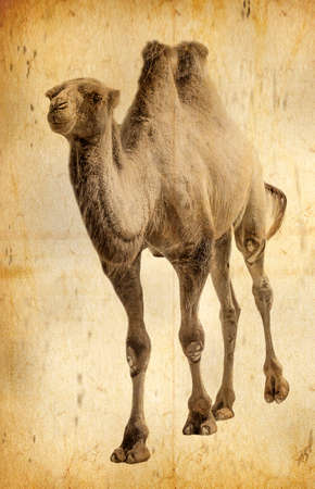 The old photo camel isolated. Sellective focus