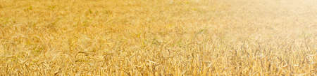 The Wheat field . Selective focus Imagens
