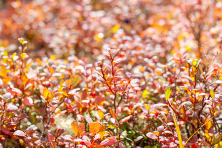 The autumn in the tundra, red leaves on the moss background