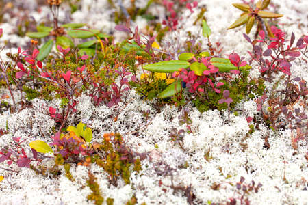 The white lichens, pink bilberry leaves in tundra above the Arctic Circle. Selective focus